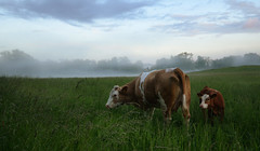 Cows in Misty Landscape (Henrik Sundholm.) Tags: trees mist field grass animals fog clouds landscape cattle cows sweden stockholm tail meadow ears heads sverige marked drottningholm enclousure lovn