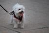 dog8 (glennpw) Tags: dog dogdayafternoon suffolkcounty stjosephscollege suffolkcountybarassociation