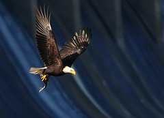 Flying By Conowingo Dam (ozoni11) Tags: bird nature birds animal animals nikon eagle baldeagle maryland raptor eagles raptors baldeagles conowingo conowingodam michaeloberman ozoni11 nikond300