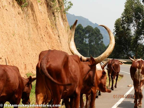 Cows of Uganda