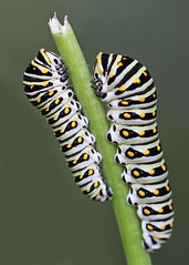 pair of Black swallowtail caterpillars on fennel stalk (Vicki's Nature) Tags: wild two white black macro green vertical yard canon butterfly georgia rebel big faces little small ngc 100mm diagonal caterpillar spots npc return thumbsup fennel sweep creepycrawlies s5 blackswallowtail twothumbsup mother2 gamewinner 0074 touchofyellow challengegamewinner naturesoutpost friendlychallenges vickisnature thumbsupwinner cgwinner yourockwinner t1i gamex2winner gamex2 100mmf28lmacrois bwcgmorethanone pregamewinner gamesweepwinner gamegamex2 friendlywinner cgtwo readymother readygamex3 readyupgrade readywrestlingmatch bwcgbigandsmall thumbsupbigandsmall thumbsupupgrade gameoddangle friendlyvertical yourocktwo pregamelittleandlarge gamebigorsmall 15bigandlittletogether