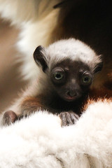 Hanging Out In Mom's Lap (Mark Dumont) Tags: baby animals zoo mark lemur dumont sifaka explored cincinnat