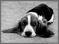 I'm sooo happy!...... (jackfre2) Tags: dog animal belgium watching antwerp lying bassethound wolfgang wilrijk droopyeyes steytelinckpark mygearandme blinkagain bestofblinkwinners rememberthatmomentlevel1 droopylook