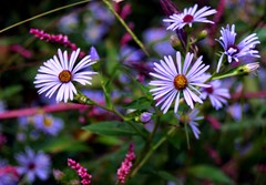 Wild Aster 27/365 (Pictimilitude) Tags: pink flowers autumn mountains fall yard weeds sony wildflowers asters purpleflowers a57