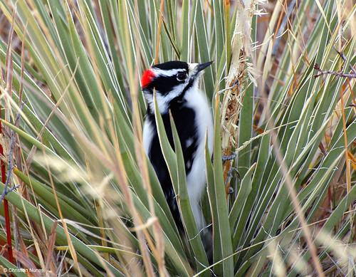 Photo - Downy Woodpecker