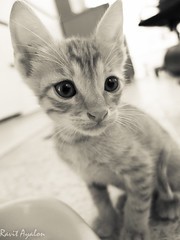 Frederick (mad artichoke) Tags: portrait blackandwhite bw pet animal cat ginger kitten feline x10 fuijifilm catnipaddicts