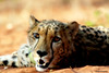 Lost in your eyes (Mangini Adalberto & Laura - sorry busy - few time) Tags: africa animals wildlife cheetah zambia naturesfinest theworldwelivein specanimal coth5 mukunibig5