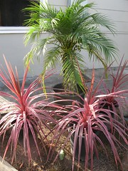 Sago palm & cordyline (TrystBat) Tags: sagopalm carbana cordylineredsensations