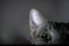 Cat's love flash (eightythreephoto) Tags: camera macro green animals cat canon fur grey is eyes feline flash ears 100mm 28 strobist 5dmkiii
