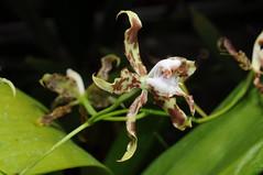 Oncidium cristatum (Nurelias) Tags: orchid america orchids south orquidea orchidee oncidium odontoglossum armatum oncidiinae