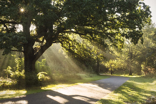 Morning Light through the Oak