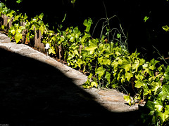 El norte mira al sur (Luicabe) Tags: airelibre cabello enazamorado exterior hiedra luicabe luis luz naturaleza planta sol trepadora verde yarat1 zamora ngc