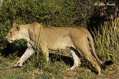 african lioness (panthera leo) (Colin Pacitti) Tags: africanlioness pantheraleo lioness lion carnivore predator wildanimal animal mammal outdoor theokavango botswana fantasticwildlife hennysanimals coth sunrays5