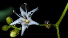 "The star traveller! - ""Explored"" (ncdslr) Tags: animal deerpark flower id insect macro macromondays nature stars newdelhi delhi india"
