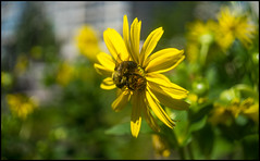 Yellow on Yellow (Lens Bubbles) Tags: canon prima 35mm f35 bokeh diy bee yellow flower