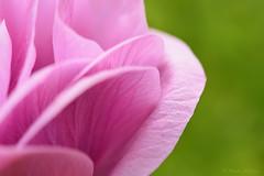 La vie en rose (Maite Mojica) Tags: flor rosa ptalo ptalos amapola jardn primavera