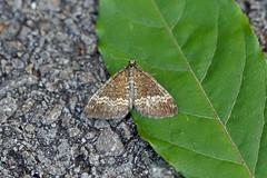 Small Rivulet, St Bees, Cumbria, England (Terathopius) Tags: cumbria england stbees uk gb unitedkingdom greatbritain smallrivulet geometridae perizomaalchemillata larentiinae