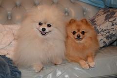 Trish and Maxi (PhotosbyDi) Tags: dogs pets pomeranians miniaturepomeranians toypomeranians animals poms nikond600 nikonf282470mmlens