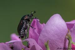 27082016-_PM03386_GF (michel paquin2011) Tags: coloptre parc rapides lasalle insecte