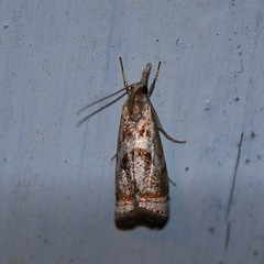 Microrambus elegans (f.tyrrell717) Tags: moth whit gold microrambus elegans macro mothing