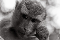 Monkey Portrait #0594 (svenpetersen1965) Tags: macaque monkey portrait kosamui changwatsuratthani thailand th samuicrocodilefarm