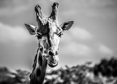 amneville-169 (cedric vis) Tags: girafe