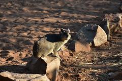Mongoose, Ruaha National Park (3) (Prof. Mortel) Tags: tanzania ruahanationalpark mongoose