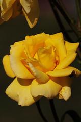 DSC_5566 (PeaTJay) Tags: nikond300s sigma reading lowerearley berkshire macro micro closeups gardens outdoors nature flora fauna plants flowers rose roses rosebuds