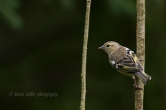 Chaffinch (kfjmiller) Tags: 150600mm 2016 aberfoyle animal august birds chaffinch female finch forest gardenbirds nature nikon nikond610 outdoors queenelizabethforest tamron thelodge trees wildlife wood