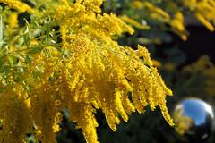 Yellow in the sun (Rob Hall -) Tags: yellow sun sunlight summer vibrant warm color colour uk morning garden