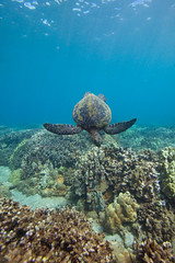 turtle and the reef (bluewavechris) Tags: maui hawaii makena ocean water sea marine animal creature life reptile turtle shell flipper scales reef coral blue brown green underwater nature canon seasea