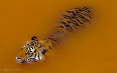 Tiger (denver662) Tags: olympus pen ep2 colorado tiger wild animal sanctuary keenesburg