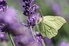Gonepteryx rhamni Flower Fragility Beauty In Nature Close-up Insect Wildlife I LOVE PHOTOGRAPHY Wanderlust Showcase September Eye Em Nature Lover Butterfly Butterflies Butterfly Collection Color Drawing Lavender Blooming Nectar Summertime EyeEm Best Shots (youbooth.de) Tags: flower fragility beautyinnature closeup insect wildlife ilovephotography wanderlust showcaseseptember eyeemnaturelover butterfly butterflies butterflycollection color drawing lavender blooming nectar summertime eyeembestshotsnature wildlifenature macrocollection eye4photography macrophotography detail