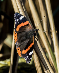 Red Admiral (Mal.Durbin Photography) Tags: redadmiral maldurbin butterfly insects naturereserve nature newportwetlands goldcliffnewport goldclifff