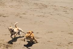 IMG_9493 (OryGonian) Tags: ocean 2016 july beach manzanita ripken sophie dogs action