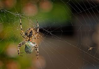 A voracious Spider eating its prey (Nezara viridula). (Explored)