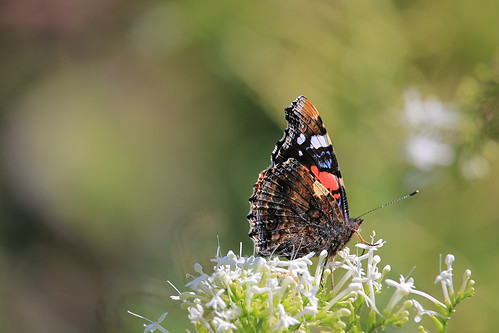 Butterfly, Painted Lady  (Vanessa cardui), on Vallerian flower