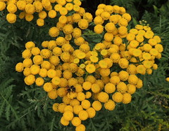 Tansy (Anita363) Tags: tansy tanacetumvulgare tanacetum asteraceae yellow roundcluster nonnative wfgna marshallpoint portclyde me maine august