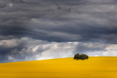 Fileds of Yellow (Brian Bornstein) Tags: cowra landscape canola canolafields brianbornstein canolafield canon6d nsw clouds