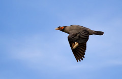 Bank Myna (sayem.ahmed49) Tags: birds bangladesh blue nature wildlife canon tamaron ngc
