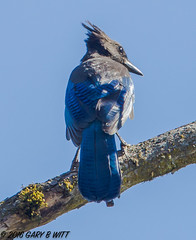 Stellar's Jay (orencobirder) Tags: jays largebirds birds flickrexport bestofyear facebook