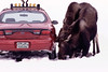 "Rocky Mountain Moose ""Car Wash"" in Winter (MInty_Verbeten) Tags: park winter wild two mountain lake snow mountains cars ford car animal animals rockies big colorado wildlife salt parks rocky grand nopeople moose lick carwash clean wash national licked planet grandlake wildanimal washed kneeling taurus licking washing animalplanet rockymountainnationalpark biggame wildanimals grandlakecolorado"