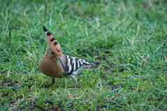 A hoopoe in the backyard! (kpapamanos) Tags: bird birds nikon greece hoopoe vourvourou d90  nikond90 55300mm   nikkor55300mm