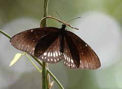 Double-branded Crow Butterfly (Wild Chroma) Tags: butterfly insects srilanka muthurajawela euploeasylvester