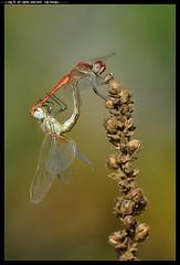 DSB_3866-18-08-2012 (r.zap) Tags: zap libellule sympetrumfonscolombii parcodelticino rzap robertozappaterra