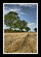 A path through the wheat (McCann1974) Tags: autumn trees ireland sky irish nature field clouds canon landscape path wheat farming aisle hedge land tipperary hedgerow canon50d
