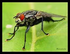 Fly - Fliege (Karabelso) Tags: portrait macro animal insect fly sony makro insekt tier fliege