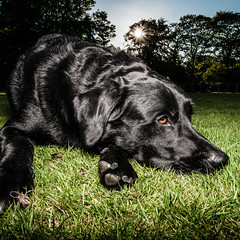 Mac @ Duthie Park (Robert F. Stokes) Tags: dog square outside outdoors scotland mac nikon aberdeenshire aberdeen blacklab 2012 k9 blacklabradorretriever duthiepark pocketwizard 1024mm lastoliteezybox d300s