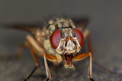 Open Wide (Chris McLoughlin) Tags: macro closeup bug fly sony 100mm a77 fairburnings sal100m28 chrismcloughlin sonyslta77
