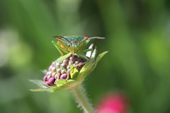 Hawthorn Shield Bug - Acanthosoma haemorrhoidale, Garden, Warwickshire (Andy_Hartley) Tags: rememberthatmomentlevel1